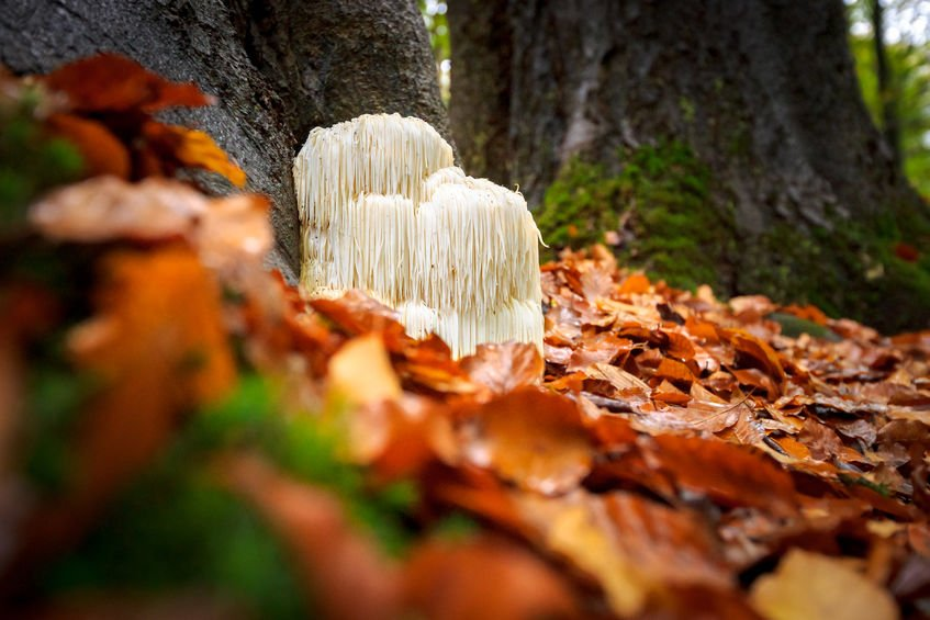 Lion's Mane Mushroom Benefits | MindZymes